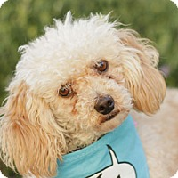 Adopt A Pet :: Zsa Zsa - Pacific Grove, CA