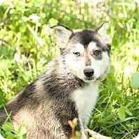 Adopt A Pet :: Sherlock - Auburn, CA