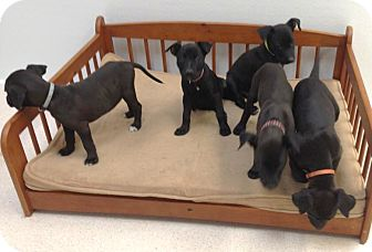 Labrador Retriever/Shepherd (Unknown Type) Mix Puppy for adoption in North Olmsted, Ohio - Puppies