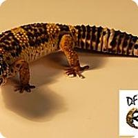 Adopt A Pet :: V Vega - Arlington, TX