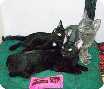 Domestic Shorthair Cat for adoption in Westville, Indiana - Emmett