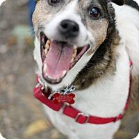Adopt A Pet :: Cosmo - Tinton Falls, NJ