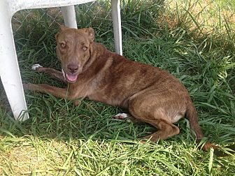 Labrador Retriever/Retriever (Unknown Type) Mix Puppy for adoption in Bristol, Tennessee - Ginger
