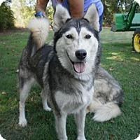 Adopt A Pet :: Goldielocks -Adoption Pending Congrats Amanda/Dan - Hope Mills, NC