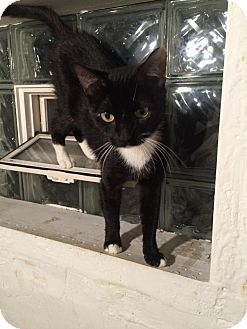 Domestic Shorthair Cat for adoption in Warren, Michigan - Opal at Madison Heights