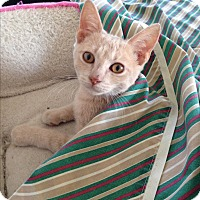 Domestic Shorthair Kitten for adoption in Randleman, North Carolina - Simba