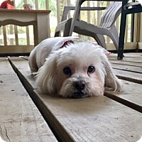Adopt A Pet :: MOLLY-Emotional Support Animal - DeLand, FL