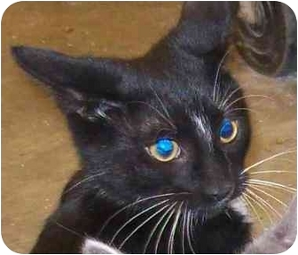 Domestic Shorthair Cat for adoption in Annapolis, Maryland - Toby
