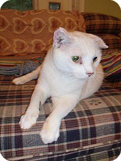 American Shorthair Cat for adoption in Bedford, Virginia - Oscar