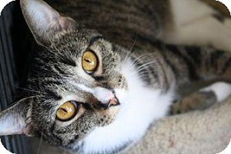 American Shorthair Kitten for adoption in Owenboro, Kentucky - BLAZE and ANNABELLE