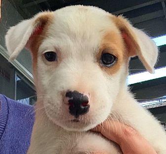 Labrador Retriever/Boxer Mix Puppy for adoption in Long Beach, California - Rufus