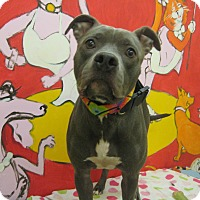 American Pit Bull Terrier/American Staffordshire Terrier Mix Dog for adoption in Santa Monica, California - HENESSY
