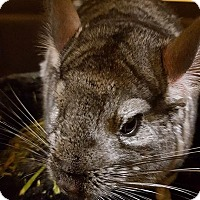 Chinchilla for adoption in Patchogue, New York - Fei