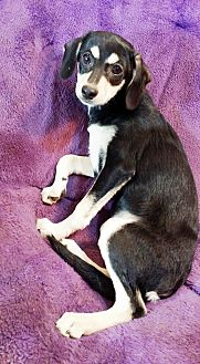 Dachshund/Rat Terrier Mix Puppy for adoption in Lawrenceville, Georgia - Tessa
