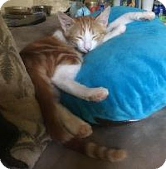 Domestic Shorthair Kitten for adoption in Mission Viejo, California - Linus