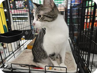 Domestic Shorthair Cat for adoption in West Lafayette, Indiana - Spike