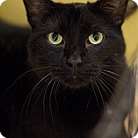 Domestic Shorthair Cat for adoption in Grayslake, Illinois - Midnight Saturn