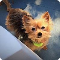 Yorkie, Yorkshire Terrier Dog for adoption in Long Beach, Mississippi - Doodlebug