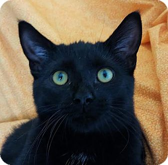 Domestic Shorthair Kitten for adoption in Colfax, Iowa - lago
