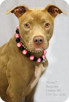 Pit Bull Terrier Mix Dog for adoption in Newnan City, Georgia - Fawn