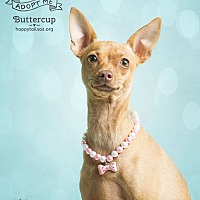 Adopt A Pet :: Buttercup - Chandler, AZ