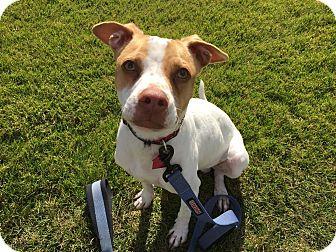 Terrier (Unknown Type, Medium)/Miniature Pinscher Mix Dog for adoption in Chandler, Arizona - Cisco
