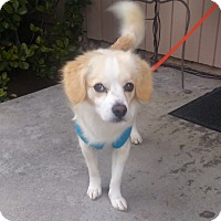 Adopt A Pet :: Charlie - Huntington Beach, CA