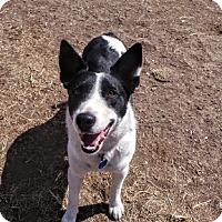 Adopt A Pet :: Chloe - Manhattan, KS