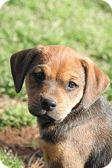 Hound (Unknown Type) Mix Puppy for adoption in Monroe, North Carolina - Betty