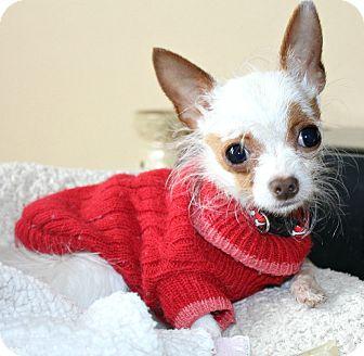 Chihuahua Dog for adoption in Temecula, California - Wispy-2.5 lbs!