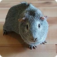 Adopt A Pet :: Pepper - Brooklyn Park, MN