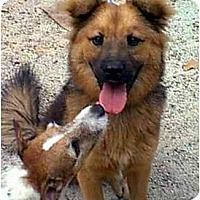 Adopt A Pet :: CHEWBACA - dewey, AZ