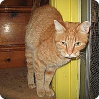 Domestic Shorthair Cat for adoption in Sherman Oaks, California - Peaches