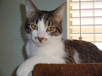 Domestic Shorthair Cat for adoption in Wichita Falls, Texas - Papa Prince