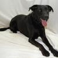 Labrador Retriever/German Shepherd Dog Mix Dog for adoption in Jackson, Mississippi - Erica