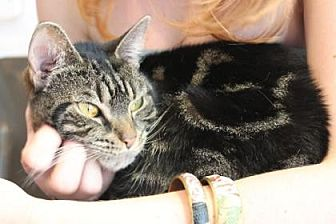Domestic Shorthair Cat for adoption in New York, New York - Astra