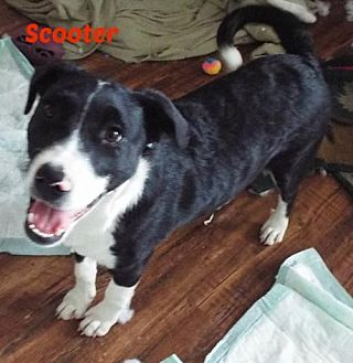 Border Collie Mix Dog for adoption in San Antonio, Texas - Scooter