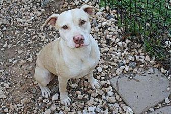 Pit Bull Terrier/Labrador Retriever Mix Dog for adoption in Hankamer, Texas - Faith