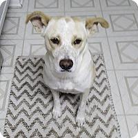 Adopt A Pet :: Rosie ES - Schertz, TX