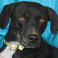 Plott Hound/Labrador Retriever Mix Dog for adoption in Cuba, New York - Heart Beat Watkins