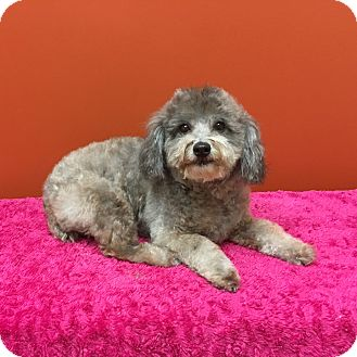 Poodle (Miniature)/Maltese Mix Dog for adoption in Rocky Hill, Connecticut - Felicia