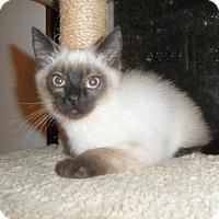 Adopt A Pet :: Siam - Milwaukee, WI