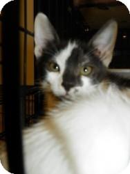 Domestic Shorthair Cat for adoption in Fort Lauderdale, Florida - Tori