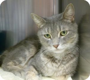 Domestic Shorthair Cat for adoption in Gainesville, Florida - Toshi
