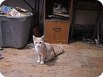 Domestic Shorthair Cat for adoption in Staten Island, New York - Poppy