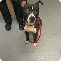 Adopt A Pet :: Skipper - Berlin, CT
