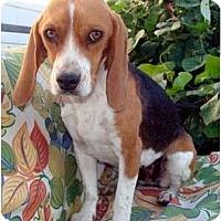 Adopt A Pet :: Dora the Explorer - Courtesy - Indianapolis, IN
