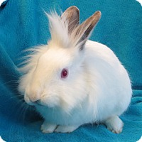 Lionhead Mix for adoption in Los Angeles, California - Richard the Lionheaded