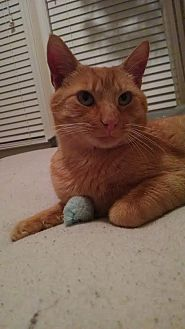"""Domestic Shorthair Cat for adoption in Charlotte, North Carolina - Courtesy Post - Diesel """"QT"""""""