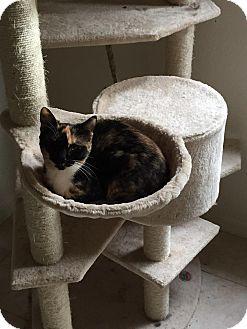 Domestic Shorthair Kitten for adoption in Port Charlotte, Florida - Flower